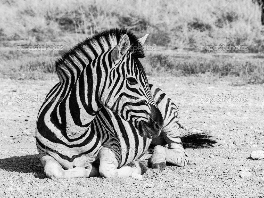 Lying zebra in black and white (Moremi Game Reserve, Botswana)