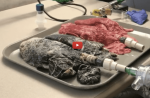 Une infirmière prélève les poumons d'un fumeur et compare leur fonctionnement à celui de poumons sains