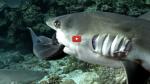 """Spectaculaire ! """"700 requins dans la nuit"""", des plongeurs au milieu du plus grand rassemblement de dents de la mer du monde"""